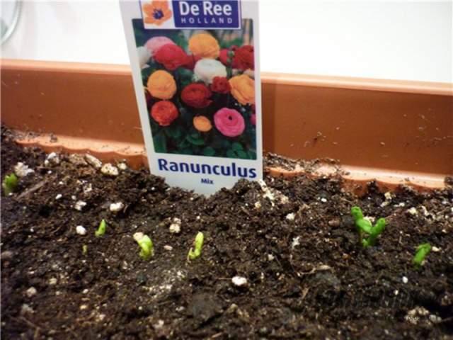 выращивание ранункулюсов из семян