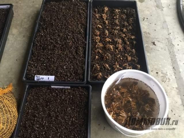 активация клубней лютика садового
