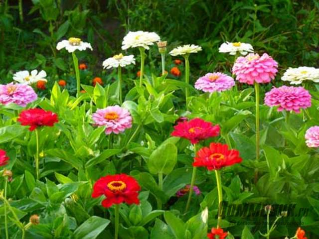 циния цветы фото