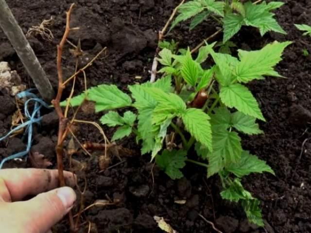 почва для черной малины