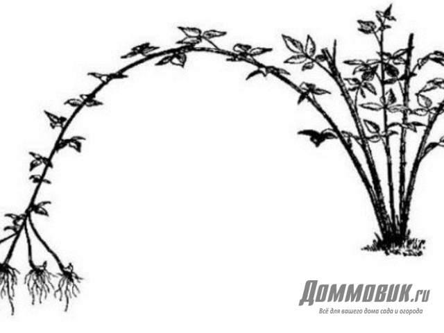 ростки черной малины