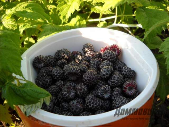 черная малина кумберленд ягоды фото