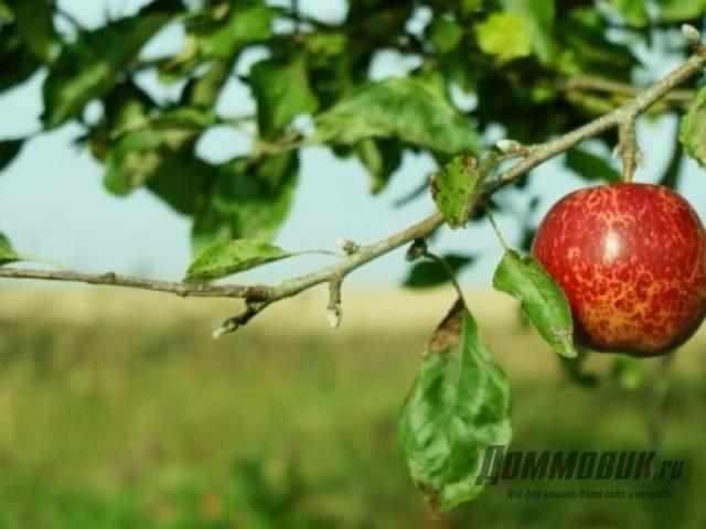 Яблоня скручивает листья