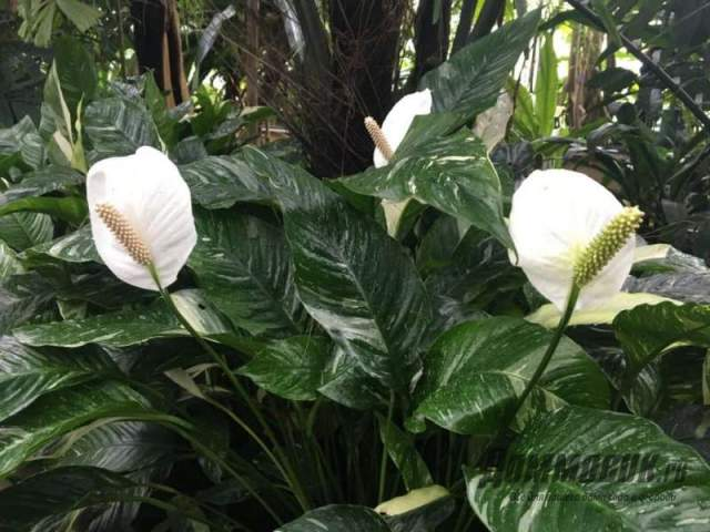 Спатифиллум в тропиках