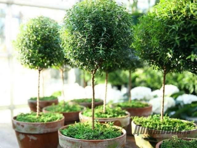 штамбовые деревца мирта