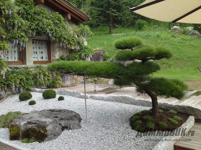 сосна бонсай во дворе