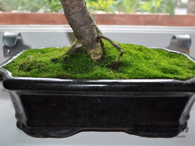 стабилизированный мох вокруг ствола бонсай