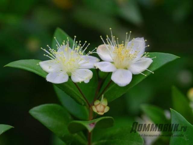 цветки мирта