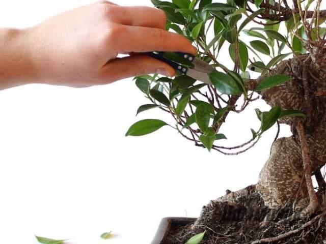 Как размножается бонсай