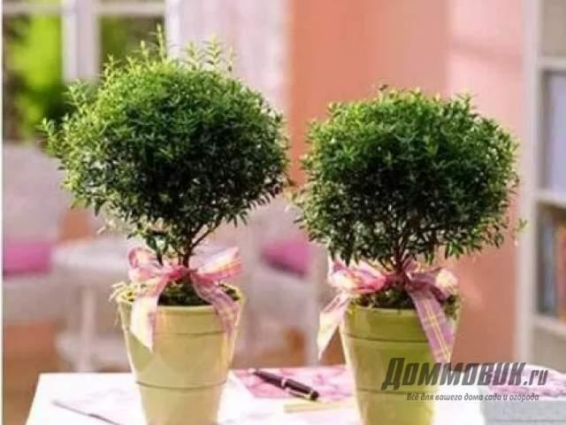 Как сформировать миртовое дерево