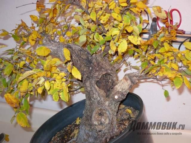 желтеют листья бонсай