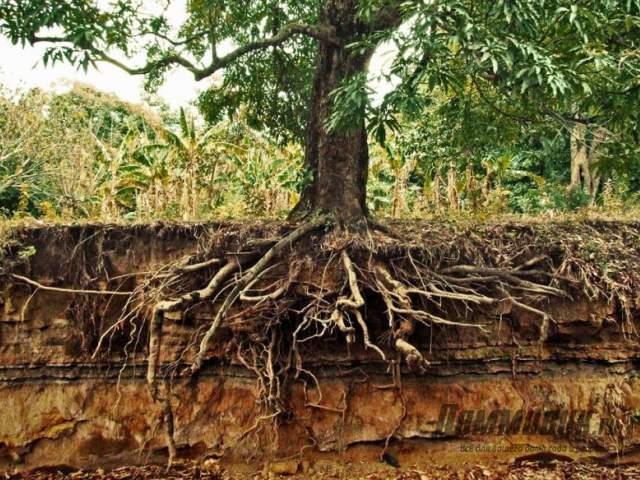 корни дерева в разрезе