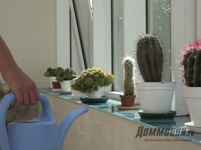 как поливать кактусы летом