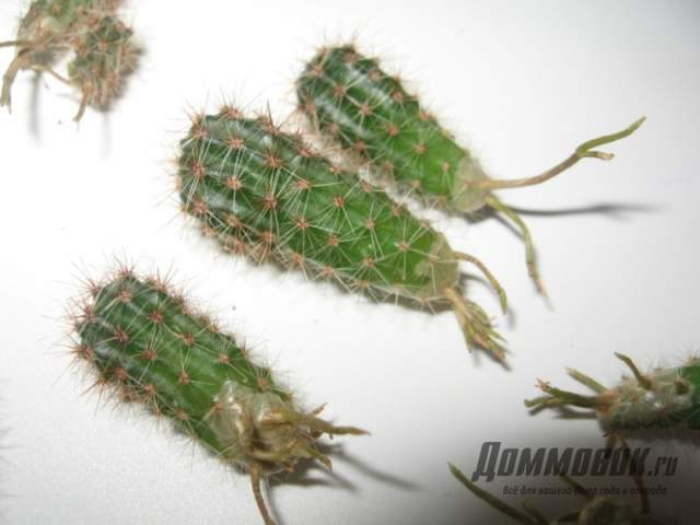 корни на отростках кактусов