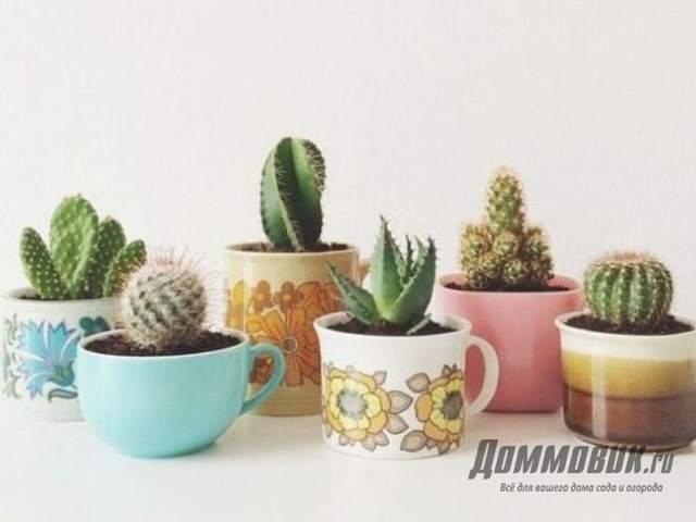 кактусы в чашках