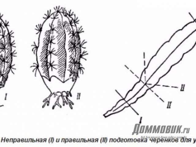 схема подрезки кактусов
