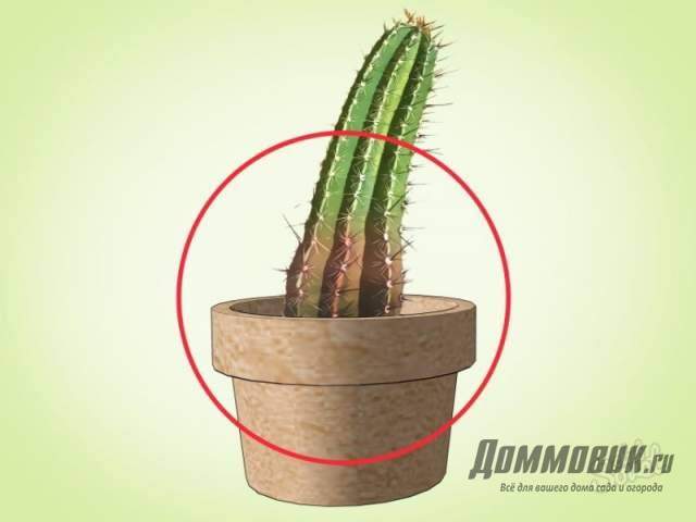 полив кактуса холодной водой - подгнивание основание
