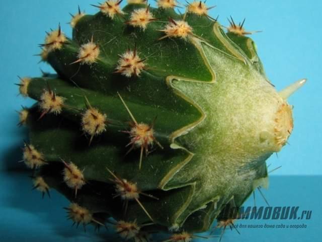 укоренение кактуса без корней