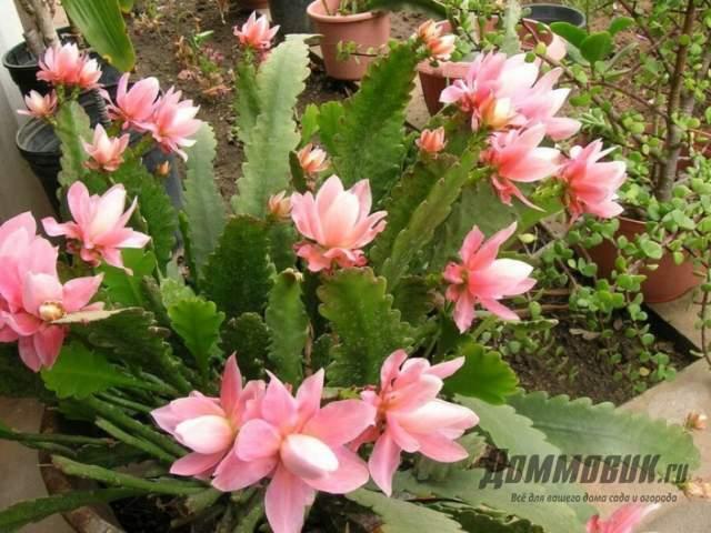 эпифиллум лесной кактус