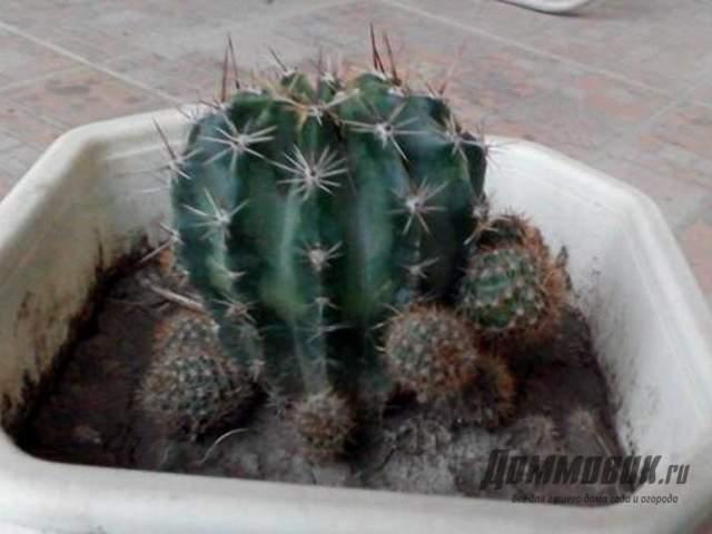 кактус в черноземе - ошибка