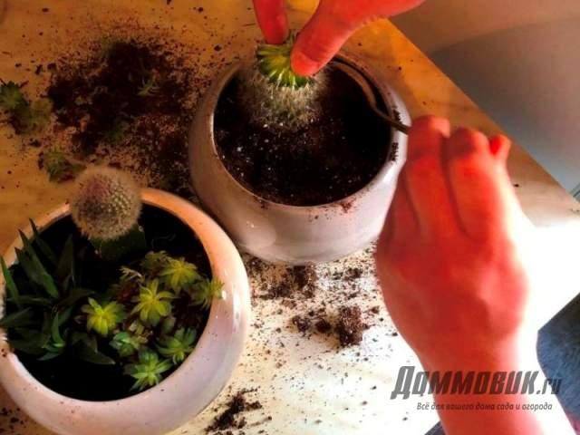 прививка кактусов