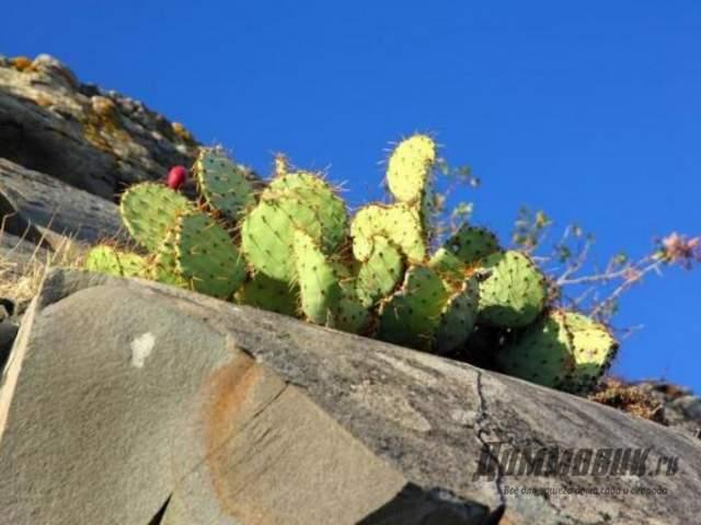 кактус на скале