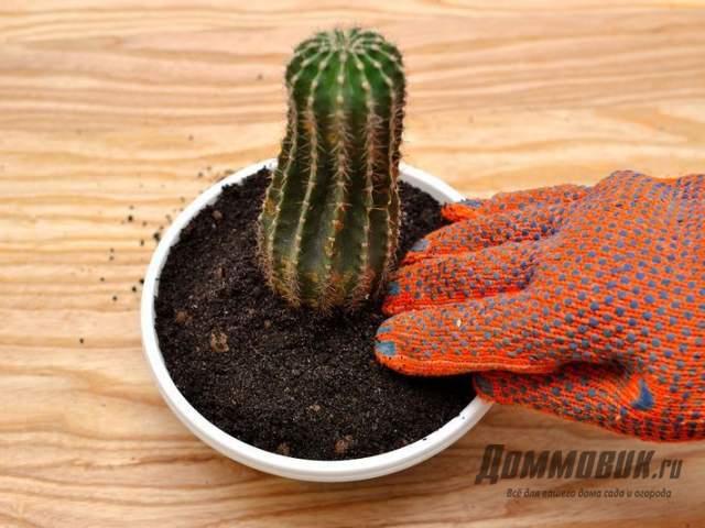 органический грунт - вред для кактусов