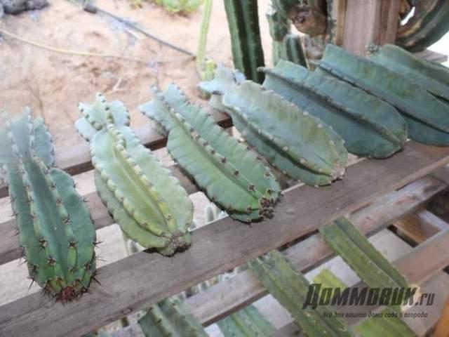 просушка фрагментов лесных кактусов