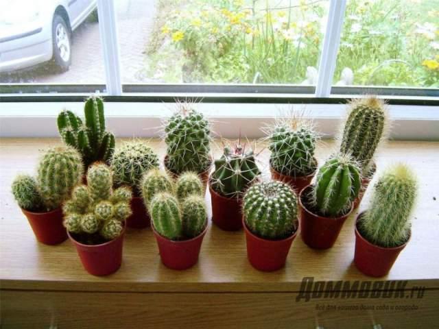 посадка кактусов
