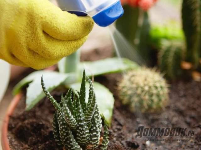 опрыскивание кактусов от вредителей