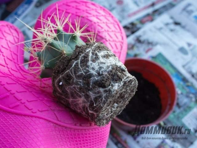 спасение кактуса