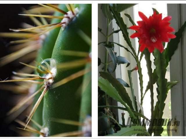 пустынные и лесные кактусы - фото