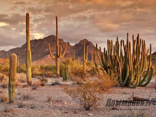 кактусы в пустыне