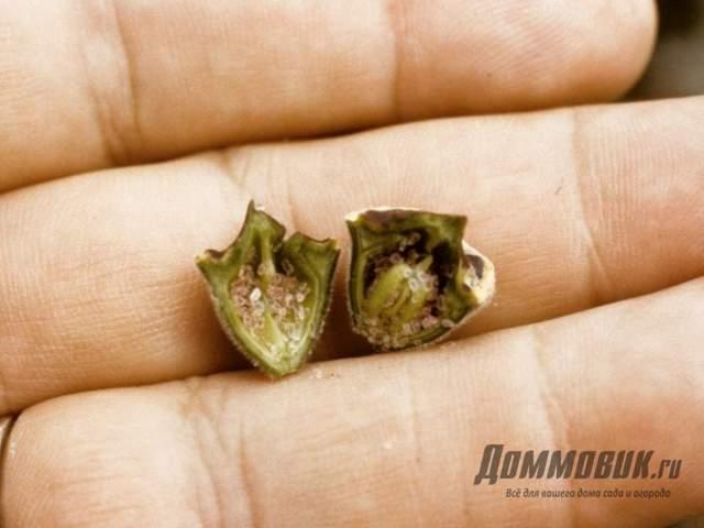 семена лобелии