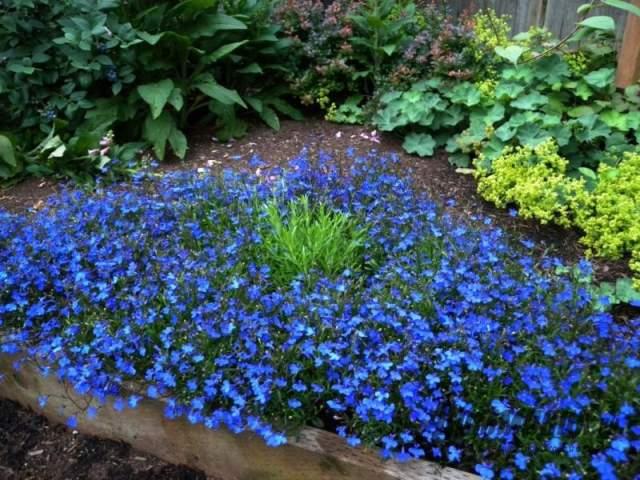 лобелии в саду