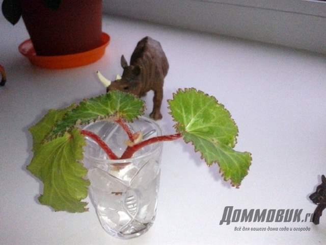 проращивание бегонии из листа в воде
