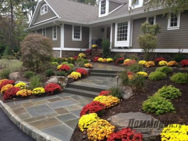 хризантемы на участке перед домом