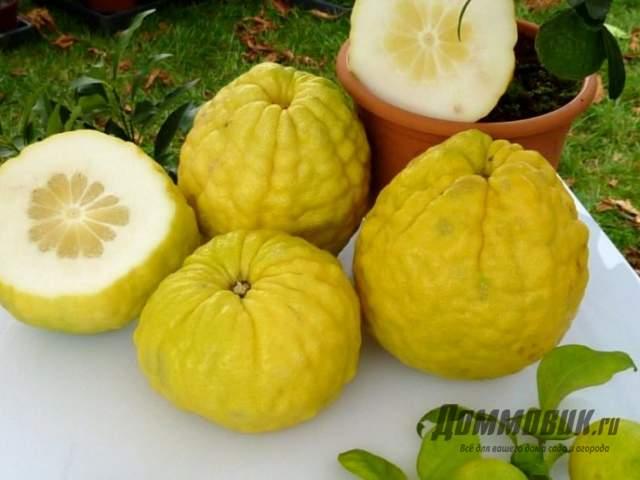 плоды цитрона - дикий лимон фото
