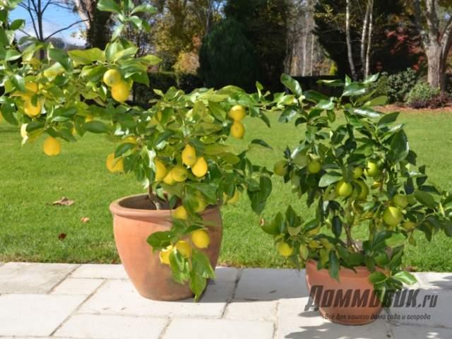 лимоны во дворе летом