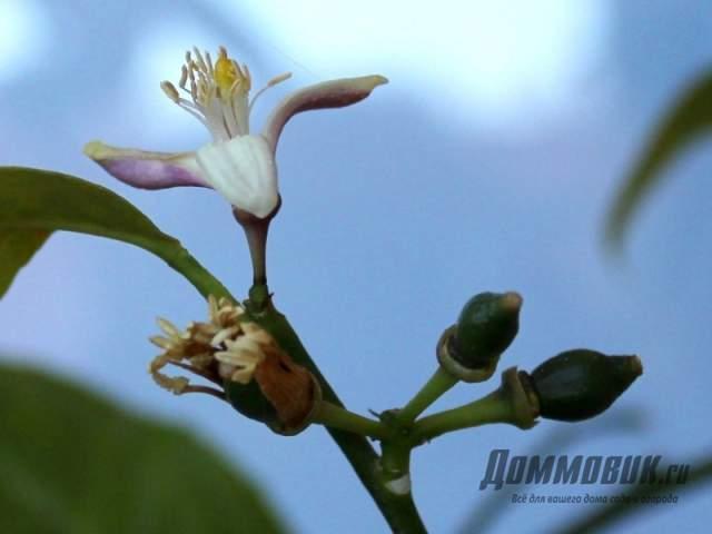 цветок и завязь лимона