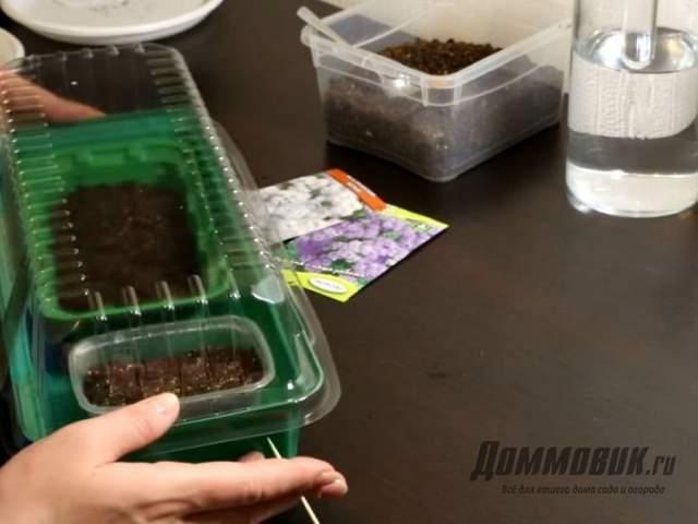 лобелия из семян