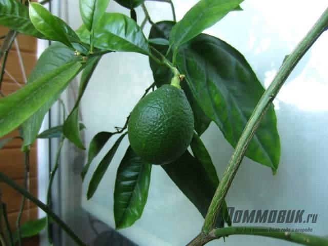зеленый неспелый лимон