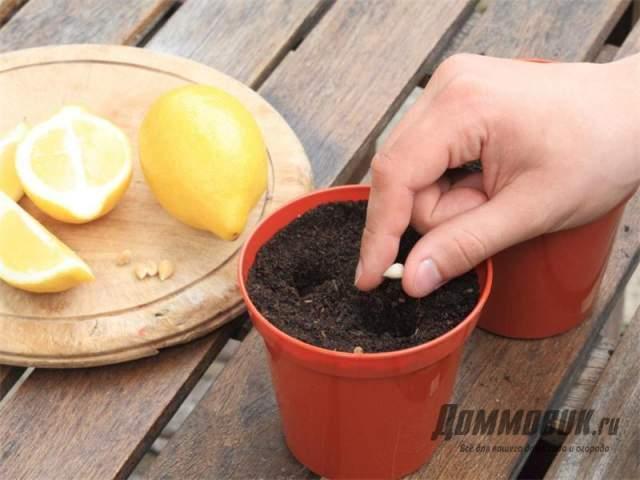 лимон из семечки