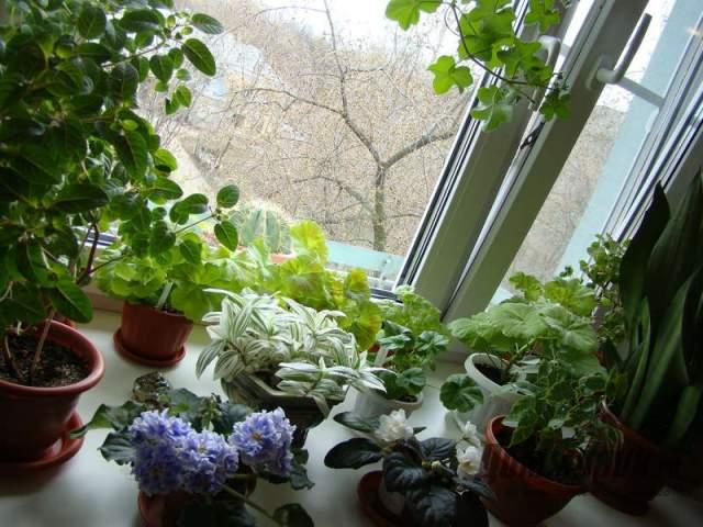 растения на подоконнике, разные виды