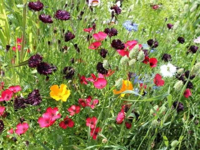 крупноцветковый лен в саду