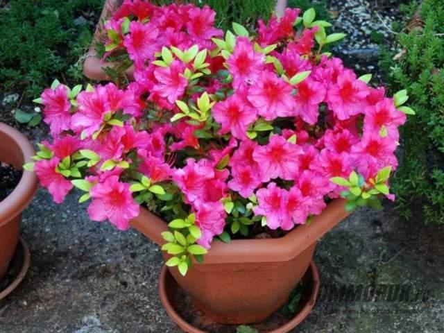 азалия в цвету