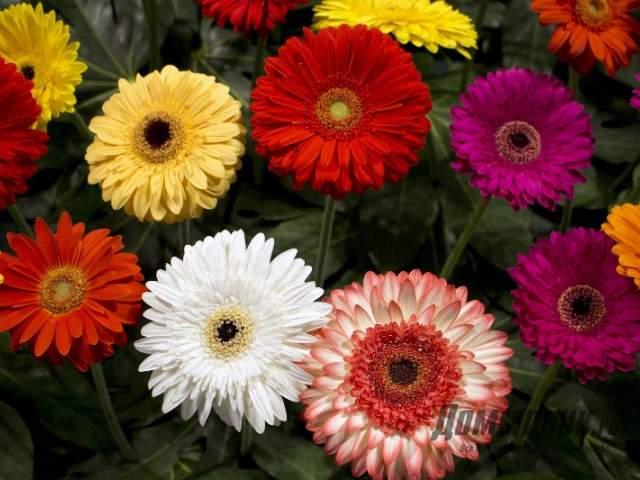 махровые разноцветные сорта