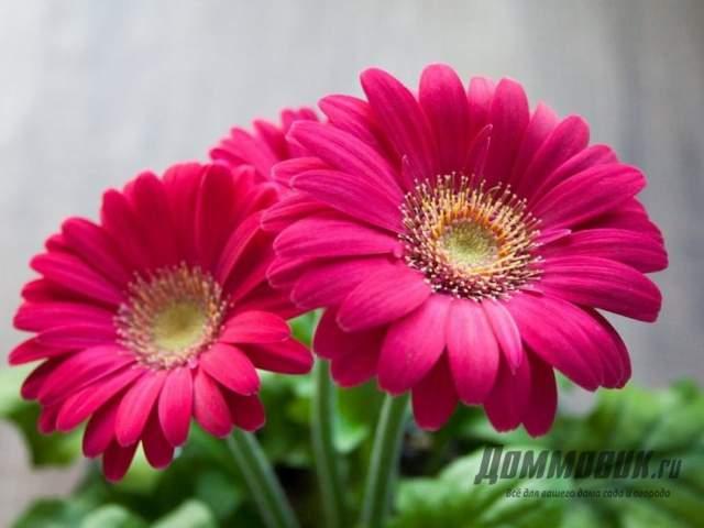 как выглядит цветок гербера
