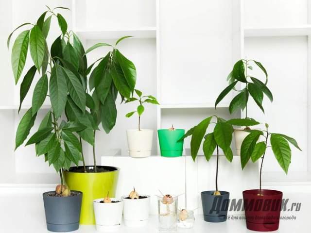 деревья авокадо на подоконнике