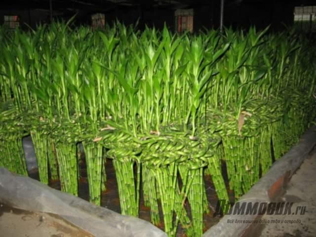 декоративный бамбук в природе